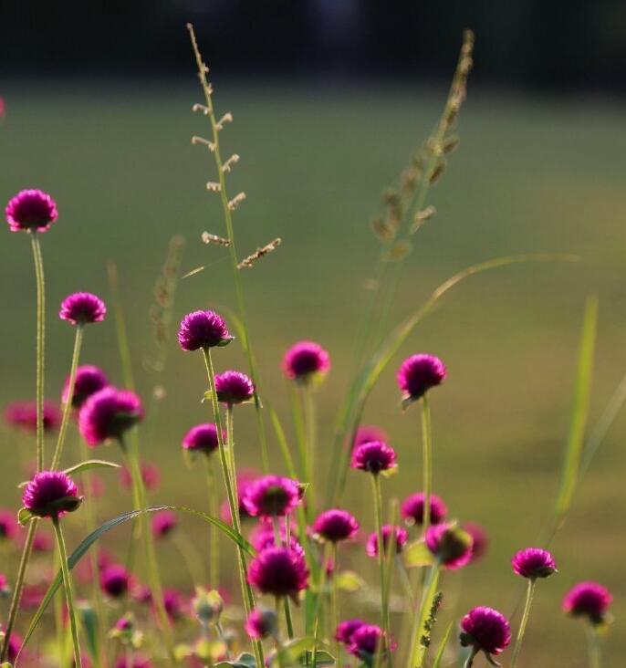 西湖公园西的千日红开花了