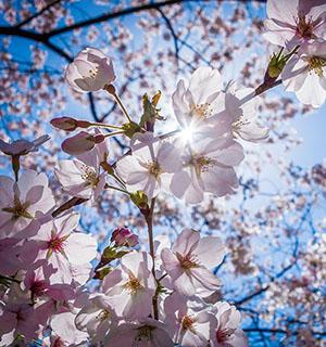 这几个樱花盛地个个美翻天!